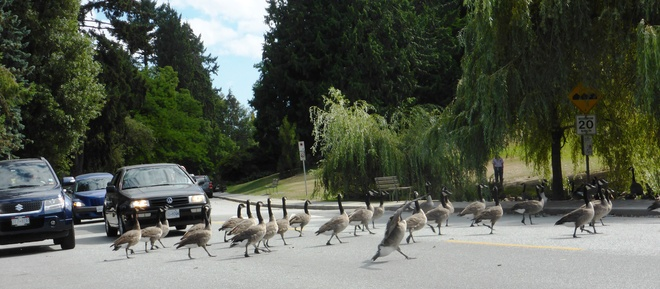 Flock crossing!