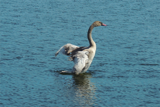 Trumpeter Swan Cygnets showing off their Wing Feathers (3 Pics)