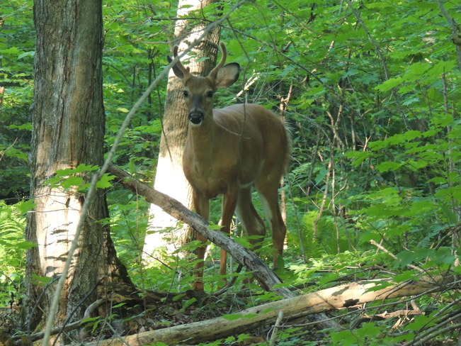 nice buck Central Manitoulin, ON