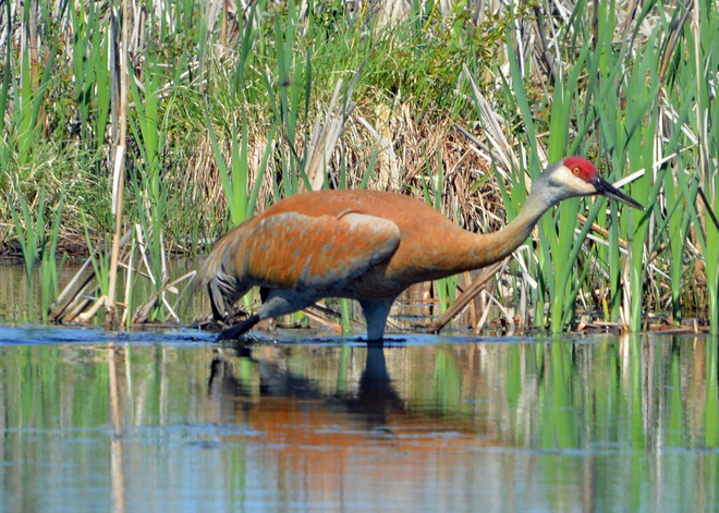 Sandhill Crane Timmins, ON