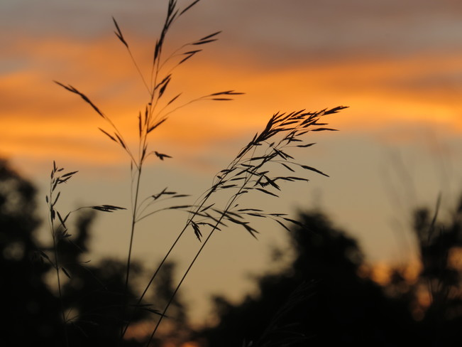 Grass at sunset Kingston, Ontario Canada