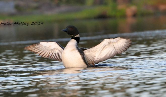 Loon dance for his mate Smiths Falls, ON
