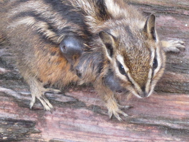 What is wrong with this Chipmunk Anstey Arm British Columbia