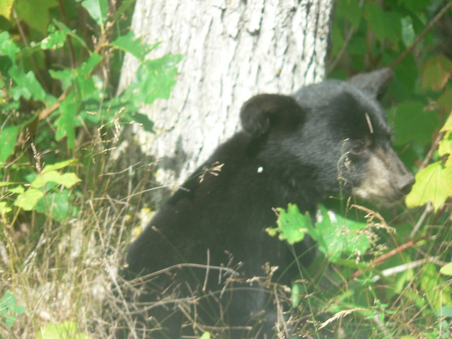 bear cub cont'd Channel Island, Lake of the Woods, Kenora, Unorganized, ON