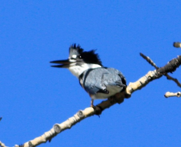 Belted Kingfisher.In our parks. calgary ab