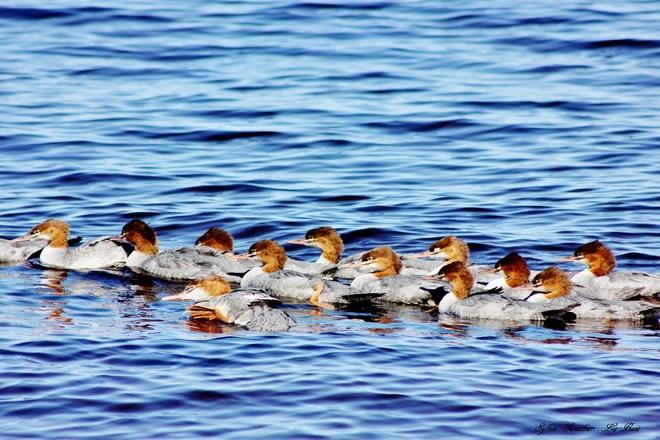 Quel race ces canards là ???... La Baie, Saguenay, QC
