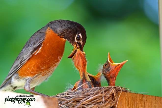 Mother Robin and her Babies! Belleville, ON