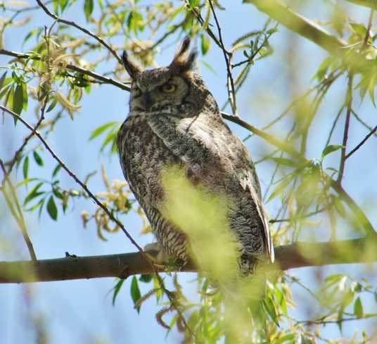 Owl of the day Lake Newell, Newell County No. 4, AB