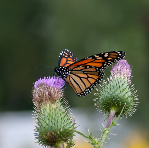Monarch on Thistle Gilmour, ON
