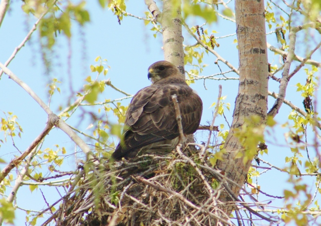 Hawk of the day Lake Newell, Newell County No. 4, AB