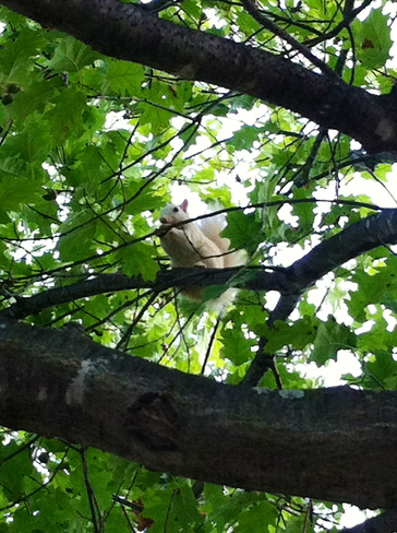White Squirrel ( not Albino ) Exeter, ON