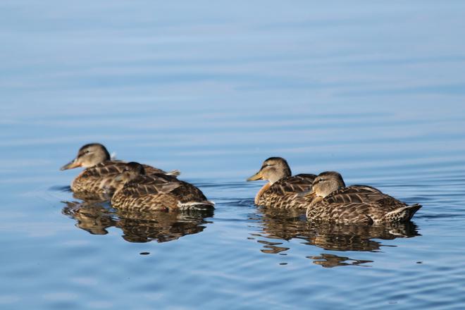 Ducks Kingston, ON