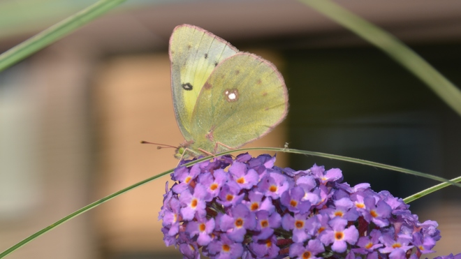 Sulphur Butterfly! St. Catharines, ON