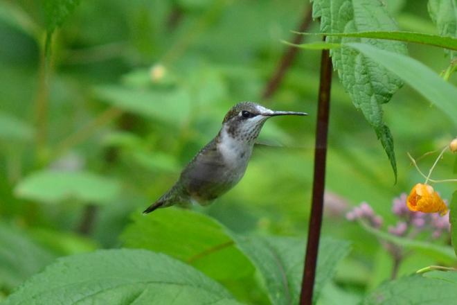 Hummingbirds are gearing up to go South Lemoine Point Conservation Area, Kingston, ON