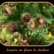 LUMIÈRE SUR FLEURS DE CHARDONS