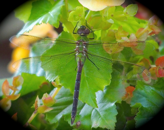 AUTUMN DRAGONFLY