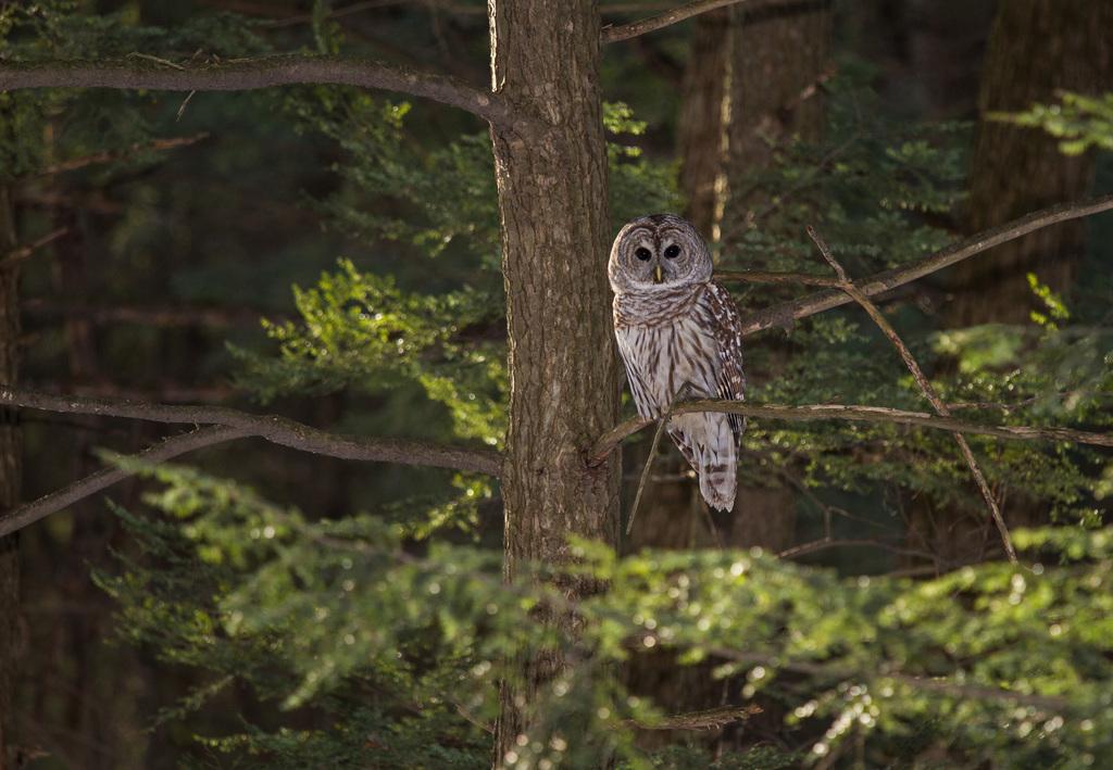 Canadian Geographic Photo Club - Barred Owl Habitat