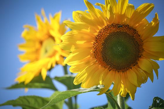 1b. Sunflowers