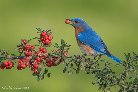 Eastern Bluebird with Berry