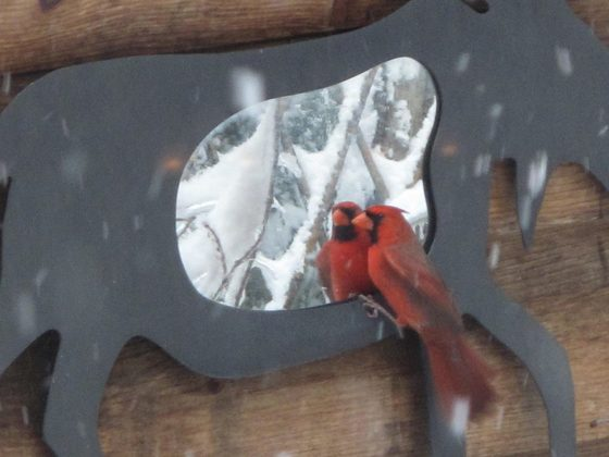 Cardinal in the Mirror