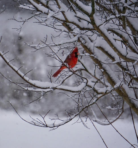 Red Bird Enjoys The Snow! (The_Busy_Lens )