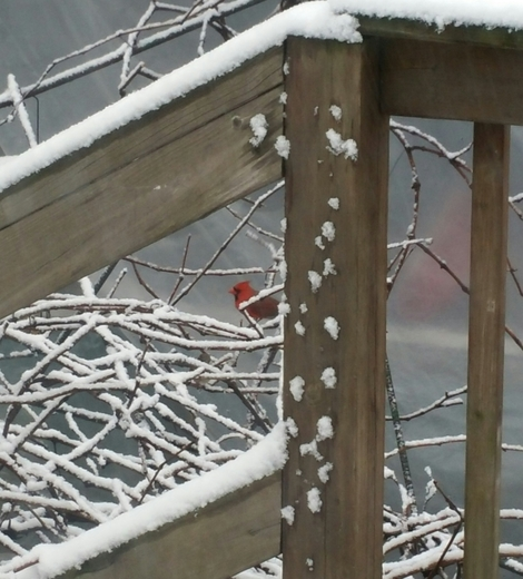 first day spring 2015 lovely Cardinal in snow