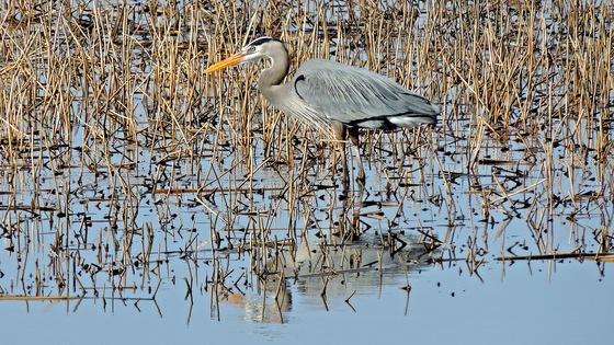 Great Blue Heron 4-3-15