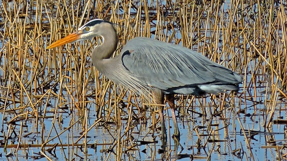 Great Blue Heron 4-3-15