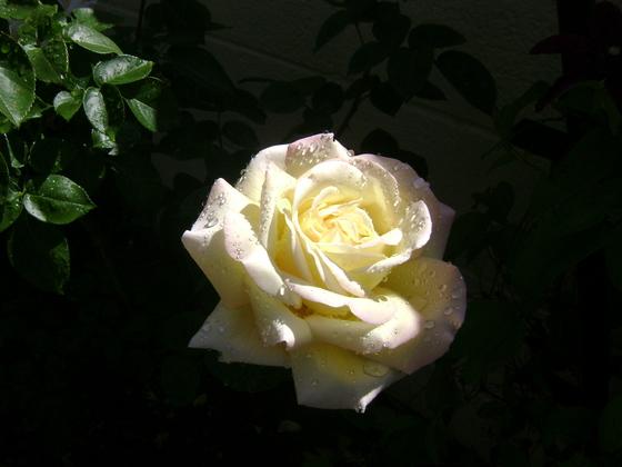Spring Rose after shower