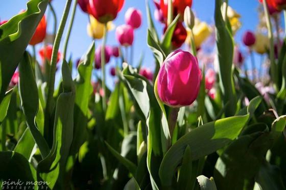 Through the Tulips