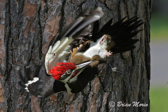 The Photo Is Reminiscent Of Another Image That Went Viral Earlier In Spring Showing A Baby Weasel Appearing To Ride Woodpecker An Attempt Eat