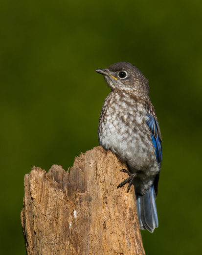 Bluebird Fledgling