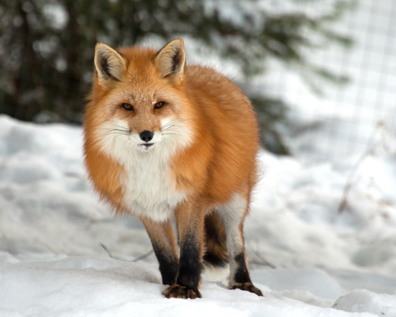 how to draw a canadian red fox