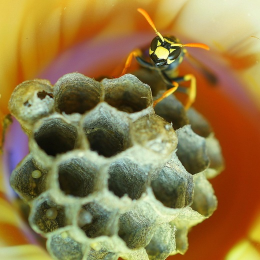 4a. Wasp protecting the eggs