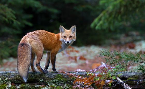 2c. Red fox