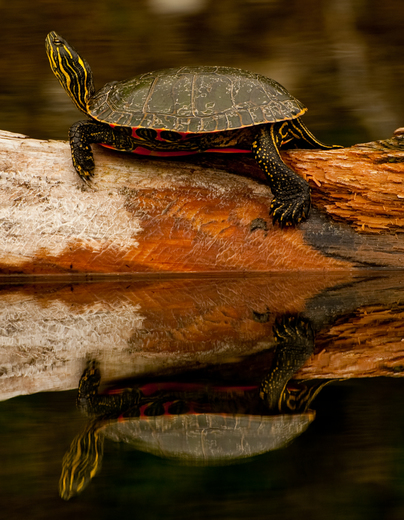 2e. Painted turtle