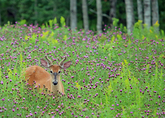 1e. Wildflowers and a Buck
