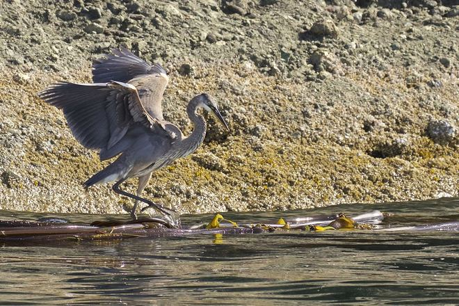 Log rolling Heron Pender Island, Southern Gulf Islands, BC
