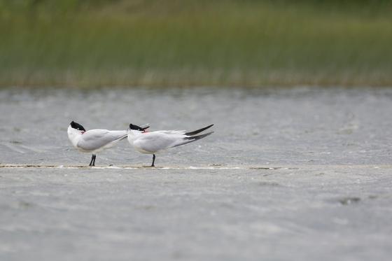 5c. Common Terns