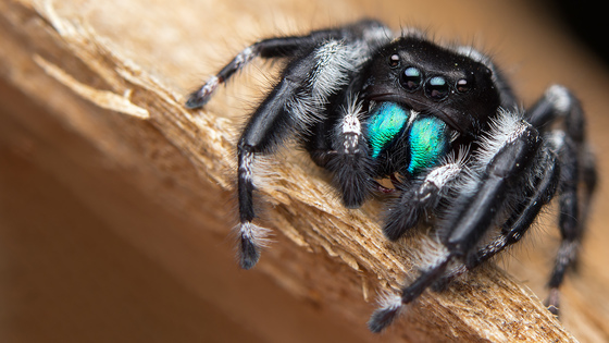 4b. A bold jumping spider