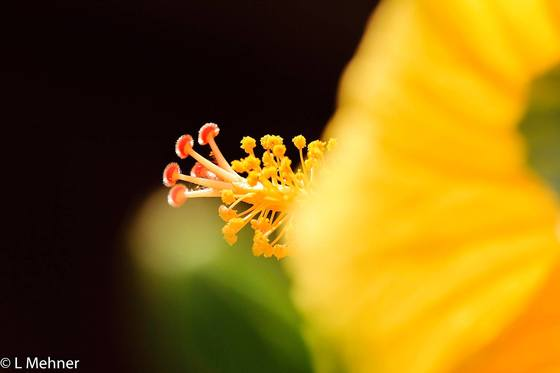 Canadian Geographic Photo Club Anatomy Of A Hibiscus Flower