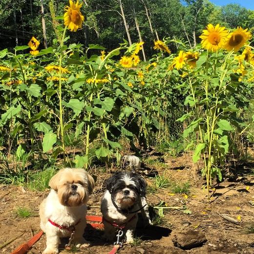 Sunflowers and Shihtzus