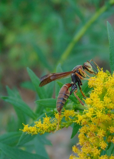 Busy Wasp