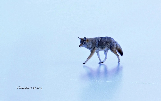 CoyWolfon thin Ice Canmore, AB