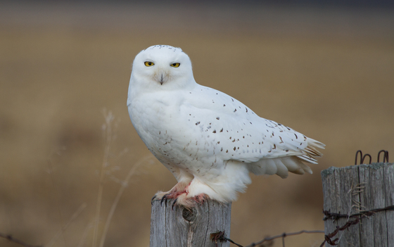 Snowy Owl (m)