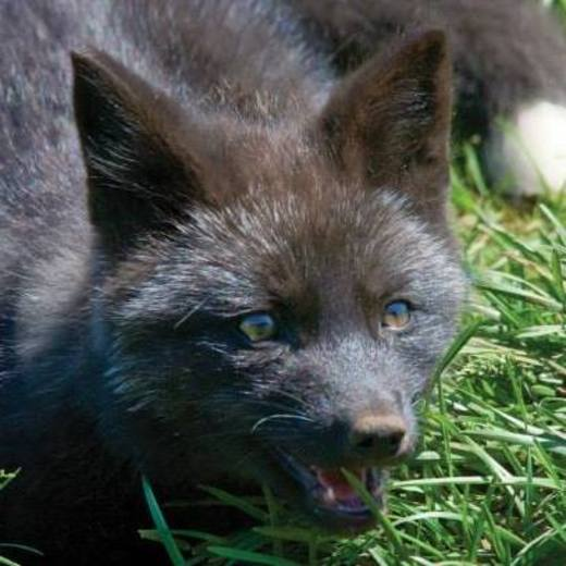 Grey Fox Cub