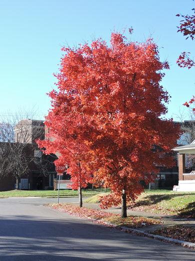 Tree in West End of Louisville