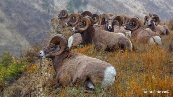 Rams resting