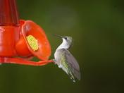 Humming Bird on Georgian Bay