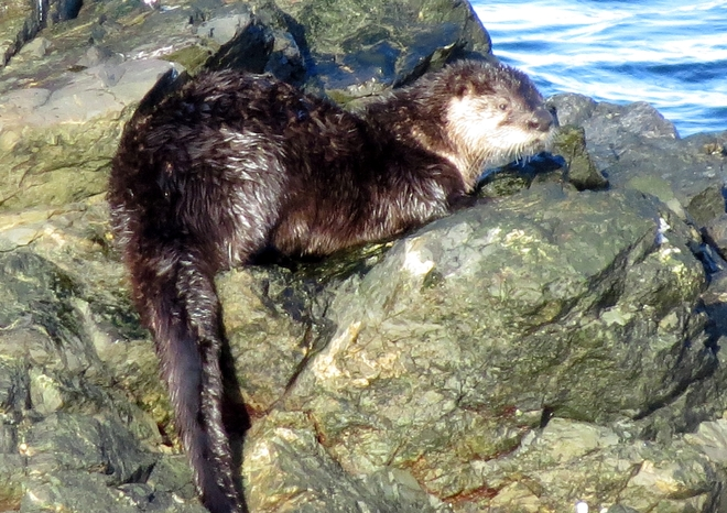 Relaxing Otter! Neck Point Park, Nanaimo, BC